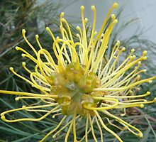 Opened wide - Pretty Grevillea inside by KazM
