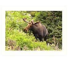 Bull Moose Side Shot  Art Print
