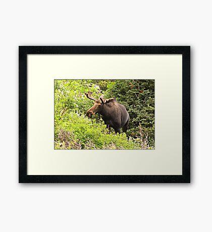 Bull Moose Side Shot  Framed Print