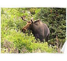 Bull Moose Side Shot  Poster