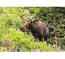 Bull Moose Side Shot  Photographic Print