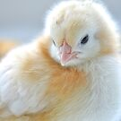 Newborn Chick by Renee Hubbard Fine Art Photography