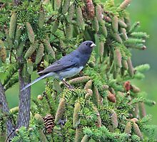 Junco Among the Cones by hummingbirds