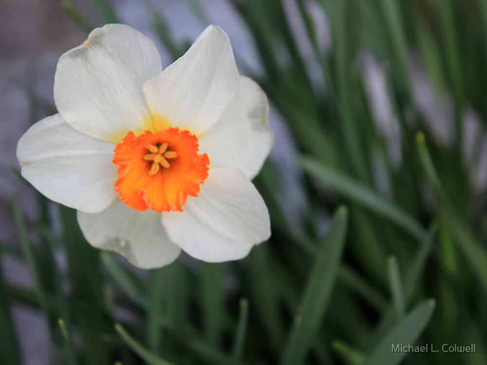 Multi-colored Daffodil by Michael L. Colwell