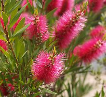 Bottlebrush Pink by kalaryder