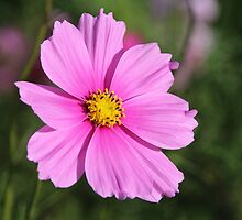 Pretty Pink Cosmos by hummingbirds