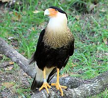Crested Caracara by AuntDot