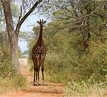 CAN I HELP, ARE YOU LOST? - GIRAFFE – Giraffa camelopardalis by Magaret Meintjes