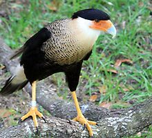Crested Caracara 2 by AuntDot