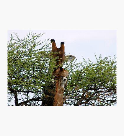 ONE SMALL KISS? - GIRAFFE – Giraffa camelopardalis (KAMEELPERD) Photographic Print