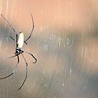 Golden Orb Spider by Erik Holt