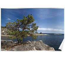 Pine tree on the rocks. Poster