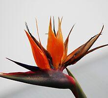 Bird of Paradise by alycanon