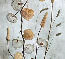 Physalis by Mandy Disher