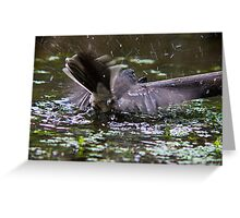 Grey Fantail bathing at the pond  Greeting Card