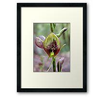 Bonnet Orchid, Cryptostylis erecta Framed Print