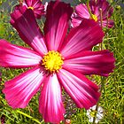Cosmos by Marilyn Grimble