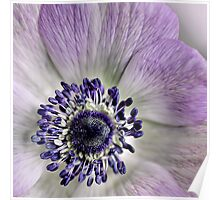 Fresh Anemones... (square) Poster