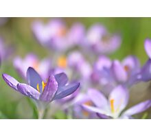 The Crocus Patch. Photographic Print