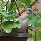 Dove in Pot by Glenn Cecero