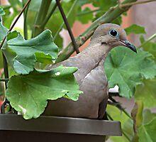Dove in Pot by glennc70000