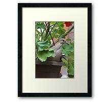 Dove in Pot Framed Print