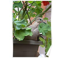 Dove in Pot Poster