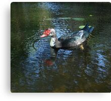 MUSCOVY DRAKE Canvas Print