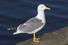 Yellow-Legged Gull by Artberry
