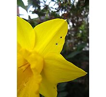The Mysterious Daffodil   Photographic Print