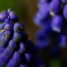 Grape hyacinth close up by Javimage