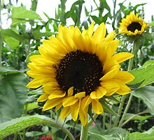 Two sunflowers by daffodil