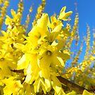 Spring Sunshine by Heather Crough