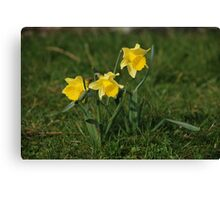 Daffodils in the sun Canvas Print