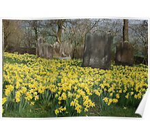 Daffodils by the old yard Poster