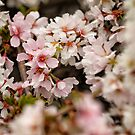 Cherry Blossoms by Jeff Palm Photography