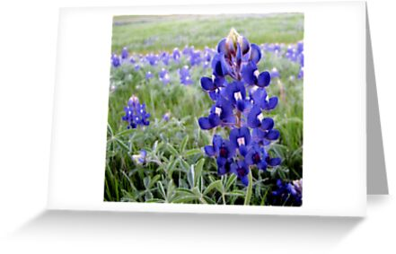 Bluebonnets - Texas State Flower by aprilann