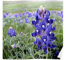 Bluebonnets - Texas State Flower Poster