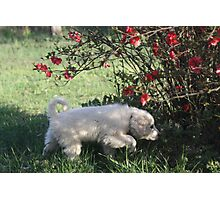 Torro Under The Quince Bush Photographic Print