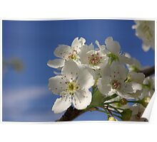 Callery Pear Blossoms Poster