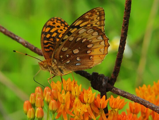 Great spangled fritillary on Butterfly Weed by Ron Russell