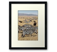 Zebra Migration, Maasai Mara, Kenya Framed Print
