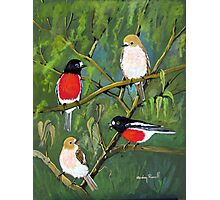 scarlet robins 01 Photographic Print