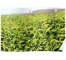 Tea plantation at Nyungwe Forest Lodge Poster