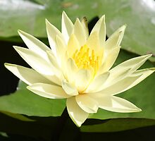 The Lotus waterlily by John Julian