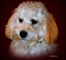 Poodle 1 by Rosemary Sobiera