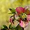 Lenten Rose by cclaude