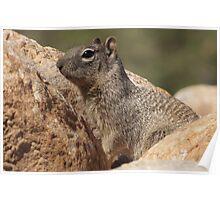 Rock Squirrel  Poster