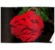 Richest red rose Poster