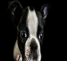 Baby Boston Terrer by Carla Jensen